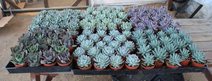 """- About - Ordering This is for our 4"""" inch gorgeous ROSETTE ONLY SHAPED succulents. Collection will be comprised of Echeverias, Sempervivums, and other Rosette shaped succulents. They are rooted and e"""