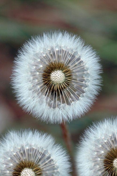 Soft & fluffy Taraxacum 'puff-ball' a white flowering Japaneses dandelion