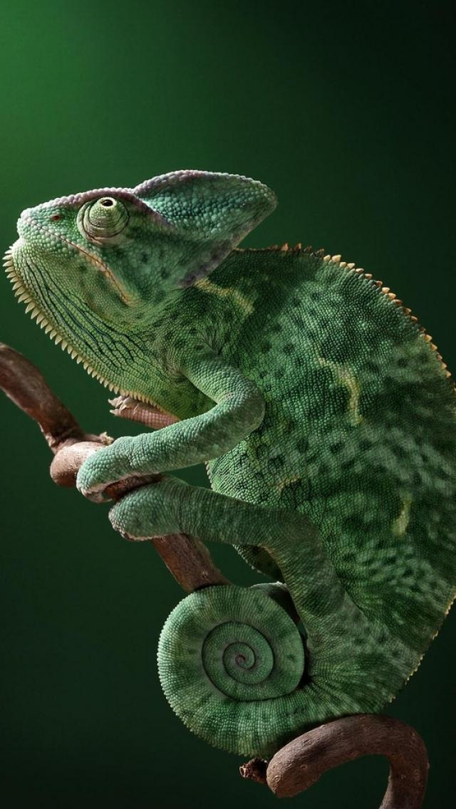 green chameleon | Green - Verde- Verd | Pinterest