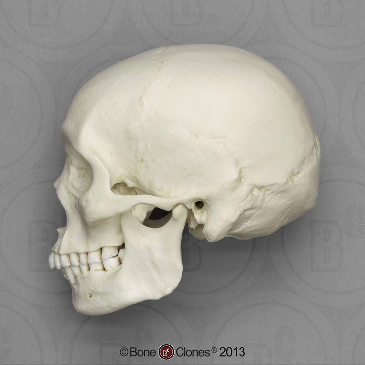 Die 25+ besten Bilder zu Human Skulls von Kayque Deleon auf ...