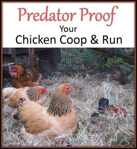 how to fox proof a chicken run