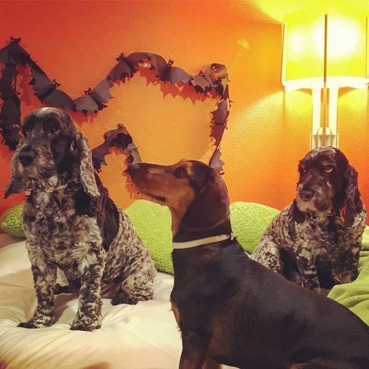 Ok ok we promise to be nice to trick or trieters tomorrow... #halloween #halloween2017 #bat #dog #dogs #pet #pets #dogsofinstagram #happydog #portuguesedog #cocker #cockergram #cockerspaniel #cockerspanielsofinstagram #englishcockerspaniel #tricolourroan #blueroan #daschund #daschundlovers #daschundsofinstagram #doxie #teckel #weinerdog #orange #halloweenfun #halloweenweek #trickortreat