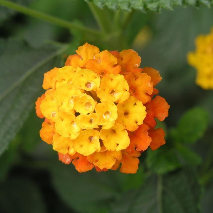 Blühende Wandelröschen