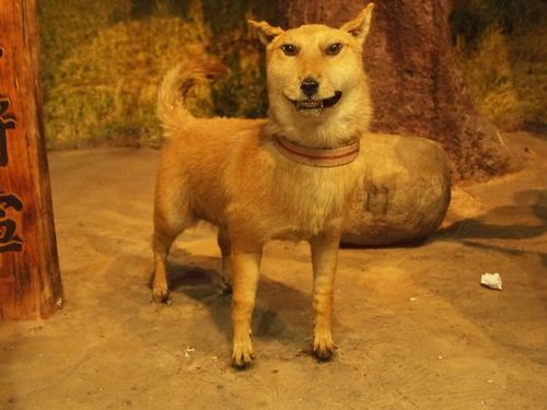 bad taxidermy Shiba.  :(  http://www.uproxx.com/webculture/2012/11/bad-taxidermy-photos-are-the-potato-jesus-painting-of-the-animal-world/?showall=true#