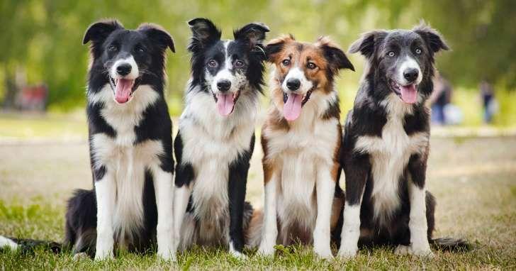 Her er de klogeste hunderacer i verden