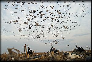 snow goose hunting photography | Spring Snow Goose Hunts :: Sno ... from www.moltgear.com