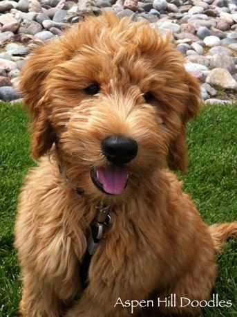 """Goldendoodle that is below 18 inches at the shoulder and under 30 pounds is called """"mini"""" or a miniature goldendoodle. Doodle about 18 to 21 inches at the shoulder and about 30 to 50 pounds is a  """"medium"""" or medium goldendoodle. These 2 eat less, defecate less, etc."""