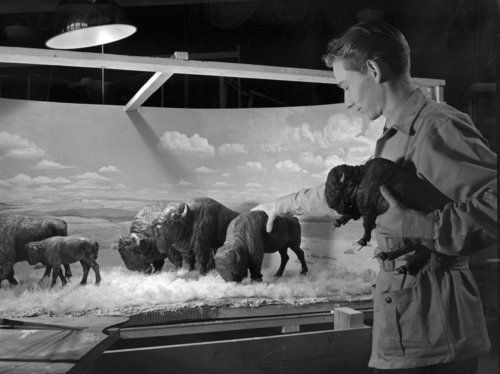 A staff member works on a model of the Bison and Pronghorn Diorama (located in the Hall of North American Mammals), February 1939  © AMNH Library/Image #291072: North American, Natural History, Animal Photography, American Mammals, Member Work, American Museums, Bison Dioramas, American Bison, Archives Photos