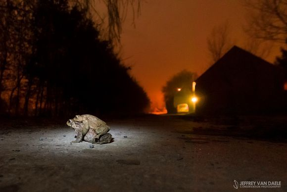 Toad Migration