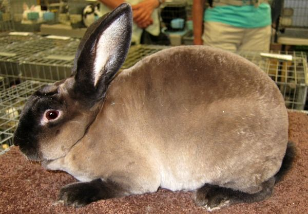 Sable Rex Rabbit