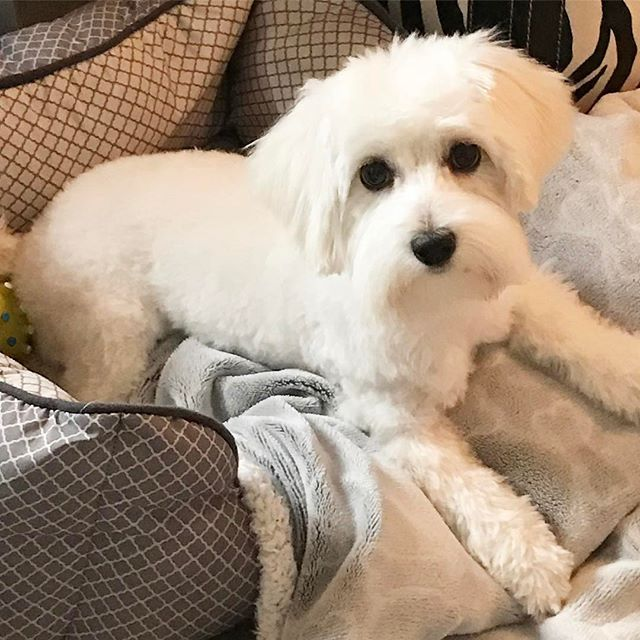 Happy National Puppy Day! 🐶 our Tommy boy is growing. We love him! #nationaldogsday #instapuppy #dogsofinstgram #malteseofinstagram #puppylove #lovehim #ourpuppy #nationalpuppyday #perritos #bestfriend #perros #instacute