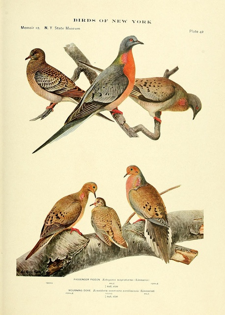 Birds of new york passenger pigeon and mourning dove for Dove soggiornare a new york