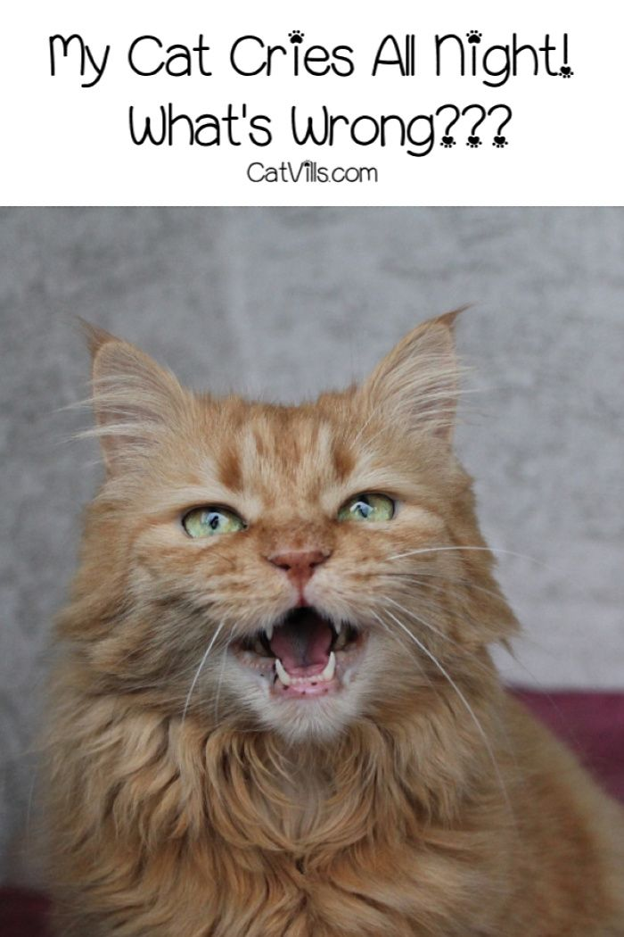 My Cat Cries All Night What S Wrong If Your Worried About Your Cat S Late Night Howling Read On To Find Out Why It Could Cat Crying Cat Behavior Cat Care