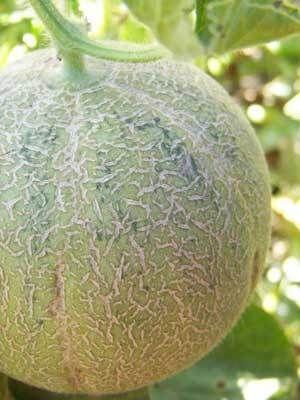 Organic Granite State Melon