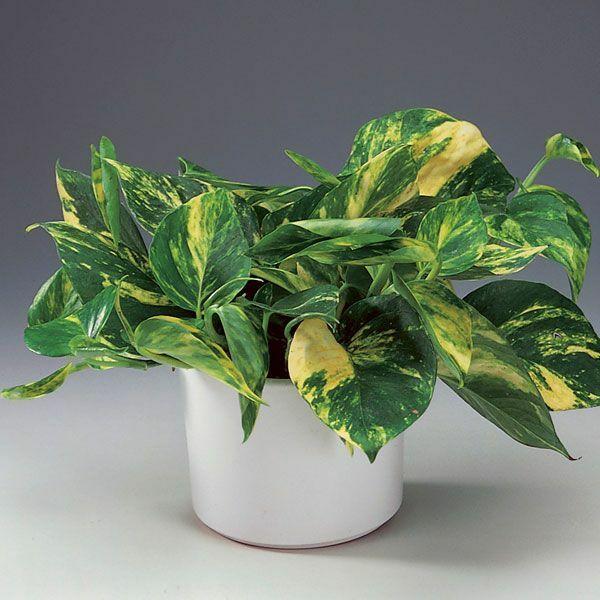 Epipremnum aureum efeutute topfpflanze