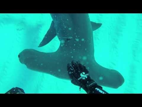 Video: Pez Martillo:  Ecuador crea santuario marino en Galápagos para proteger al tiburón martillo - YouTube