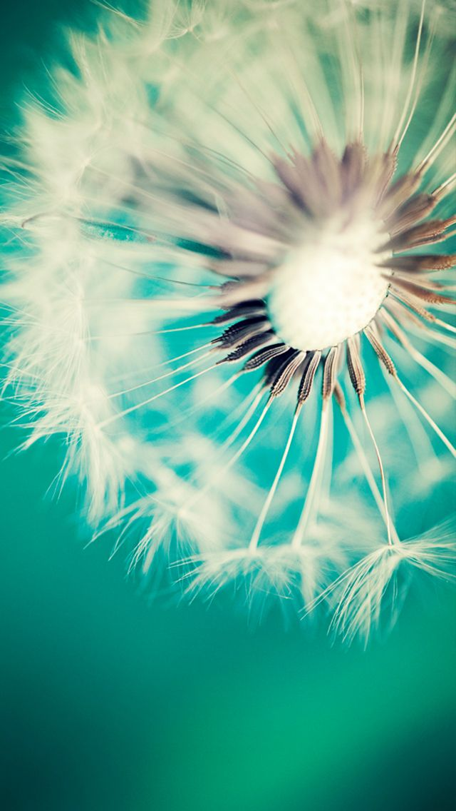#Dandelion amazing #colors! The #iPhoneWallpaper I like! http://iphone5retinawallpaper.com/gallery.php?cat=Nature