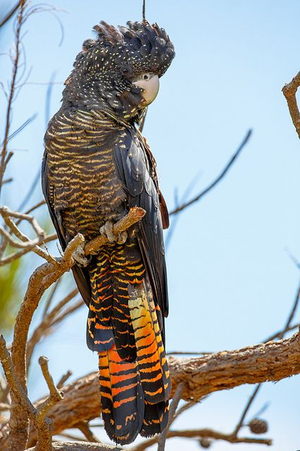 Red Tailed Black Cockatoo at Wireless Hill | Flickr - Photo Sharing!
