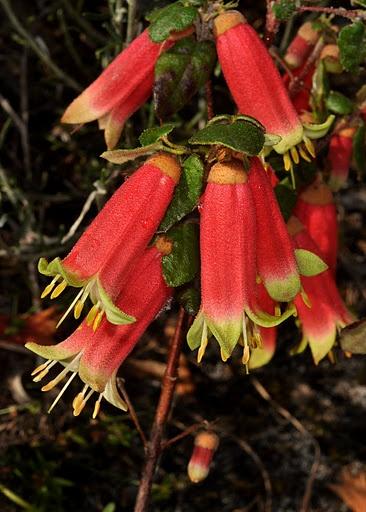 419 best australian native plants  images on pinterest