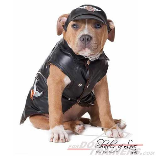 Cool boy!. Pitbull in funny costume. Be ready for our new #dog #photo #contest