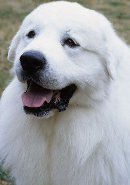 Great Pyrenees: those guys' personality reaches mine very well... Another one I'd love to live with