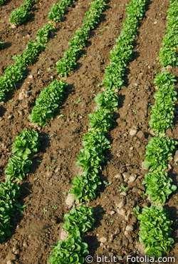 Feldsalat - Rapunzel Salat