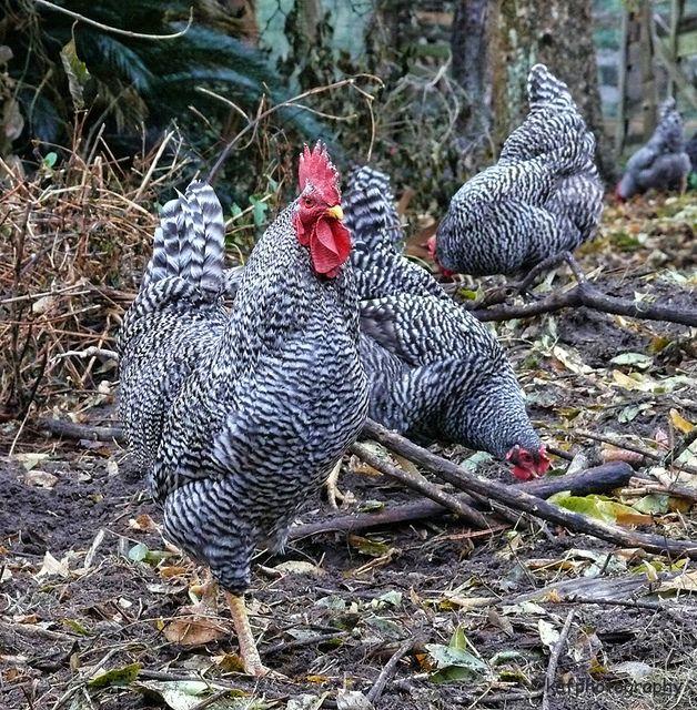 Gorgeous Dominique Chickens