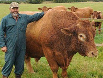 Выращивание бычков на мясо - бизнес план