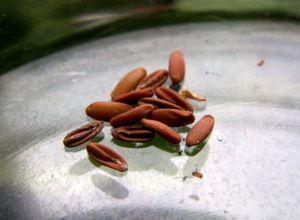 Что важно учитывать при выращивании пеларгонии из семян