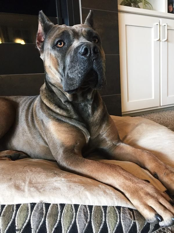 cane corso price, cane corso pups. puppies, Cane Corso breeder northern California, How much does a Cane Corso puppy cost, working cane corso, korso, king corso, corso breeders, california, cali...
