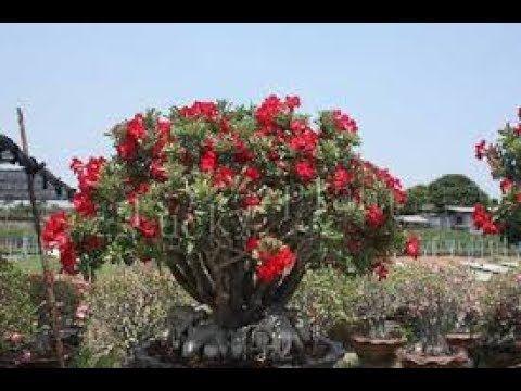 BONSAI LUCKY PLANTS AND POSITIVE ENERGY
