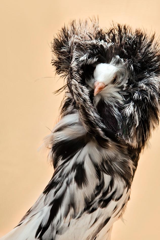 jacobin pigeon - photo #22