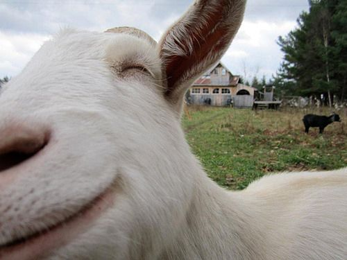 This smiling goat who just can't handle how great his life is right now. | 23 Goats Who Cannot Believe They're Really Goats