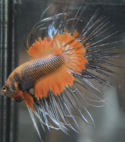 live-betta-fish-WICKED-black-and-orange-BUTTERFLY-crowntail-male-WICKED