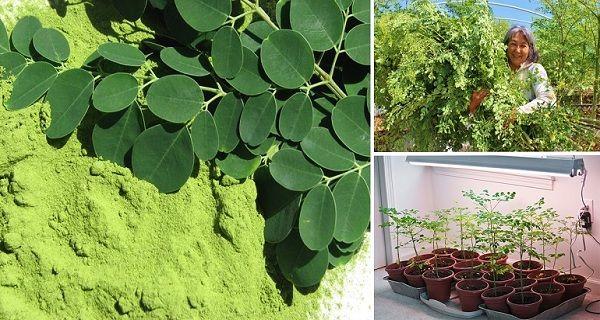 Táto rastlinka môže byť liekom na 5 druhov rakoviny, vrátane pľúc či kože
