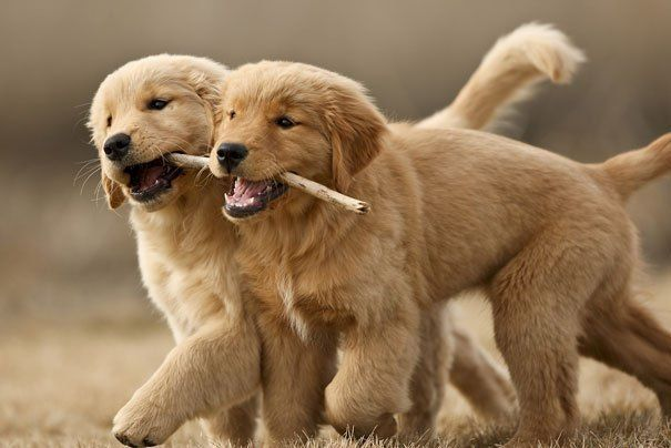 Cooperation Two Golden Retriever Puppies Carrying A Stick