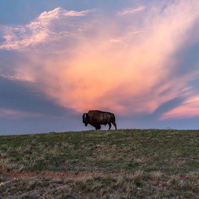 Where the buffalo roam. .  .  .  .  .  #Buffalo #SkoBuffs #cuboulder #America #USA #photoofday   #Nikonphotography #NikonD750 #natgeo #natgeoyourshot #sunset  #wildlife #animalkingdom #natgeowild #neature #wildernessculture #roamtheplanet #earthpix  #feedyourwildside  #findyourpark #sunsets   #roadtrippin #roadtripusa #Cheyenne #Wyoming #Wyominglife #buff #buffalowildwings #buffaloes #cubuffs