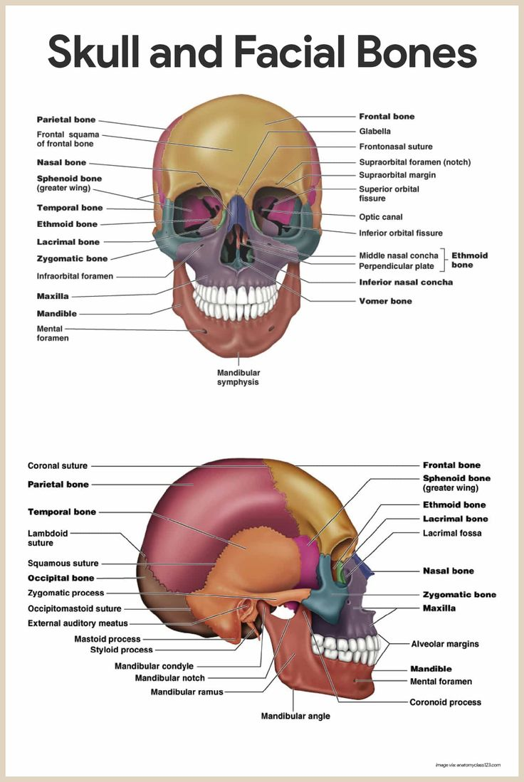 Skull and Facial Bones-Skeletal System Anatomy and Physiology for Nurses: https://nurseslabs.com/skeletal-system/
