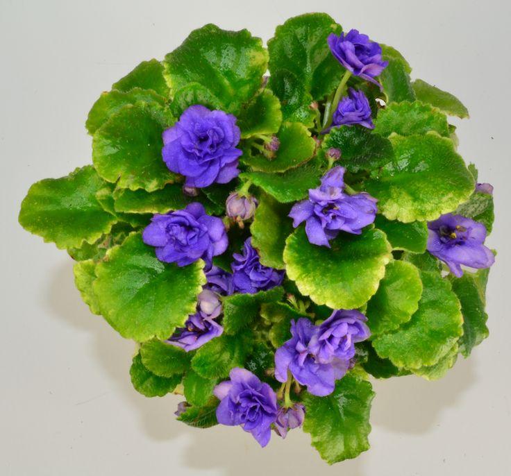 Moonlight Kisses Semi Mini African Violet Plant