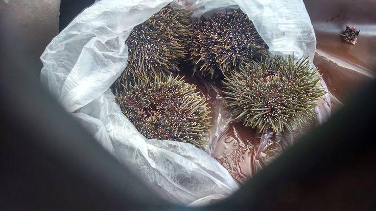 KINA..Sea Urchins around the Whangaroa Harbour Northlands New Zealand