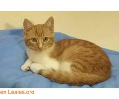 Erick en adopción!  #Adopción #adopta #adoptanocompres #adoptar #LealesOrg  Contacto y info: Pulsar la foto o: https://leales.org/animales-en-adopcion/gatos-en-adopcion/erick-en-adopcion_i2679 ℹ  Erick fue rescatado junto a Ariel por una de nuestras voluntarias sólo unos bebés casi en medio de la carretera devorando el papel de un bocata.   Acerca de esta publicación:   Esta publicación NO ha sido creada por Leales.org y NO somos responsables de su contenido. Ha sido publicada gratuitamente…
