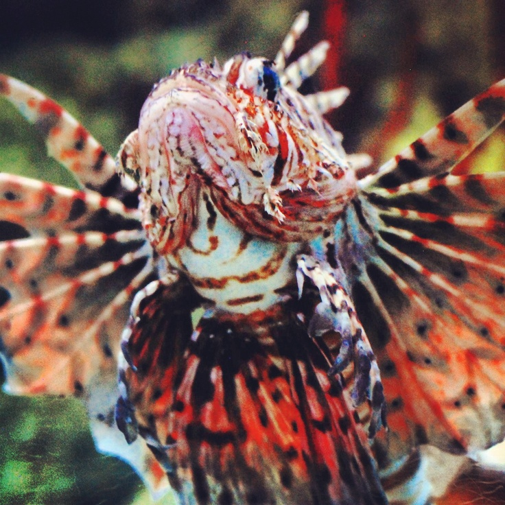 Lion Fish at London Aquarium