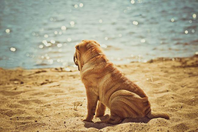 Собака шарпей (фото): преданный пес с удивительной внешностью