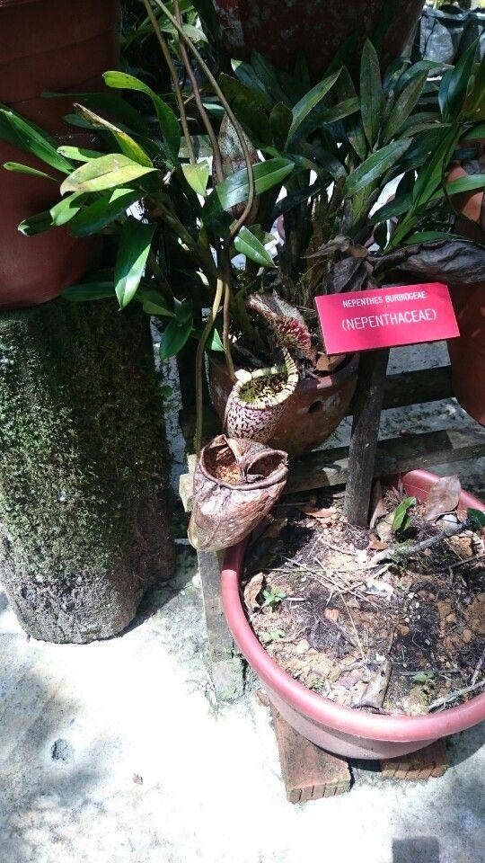 Pitcher plant  at mt kinabalu botanical garden