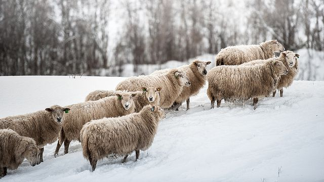 Norway sheeps by CoolbieRe, via Flickr