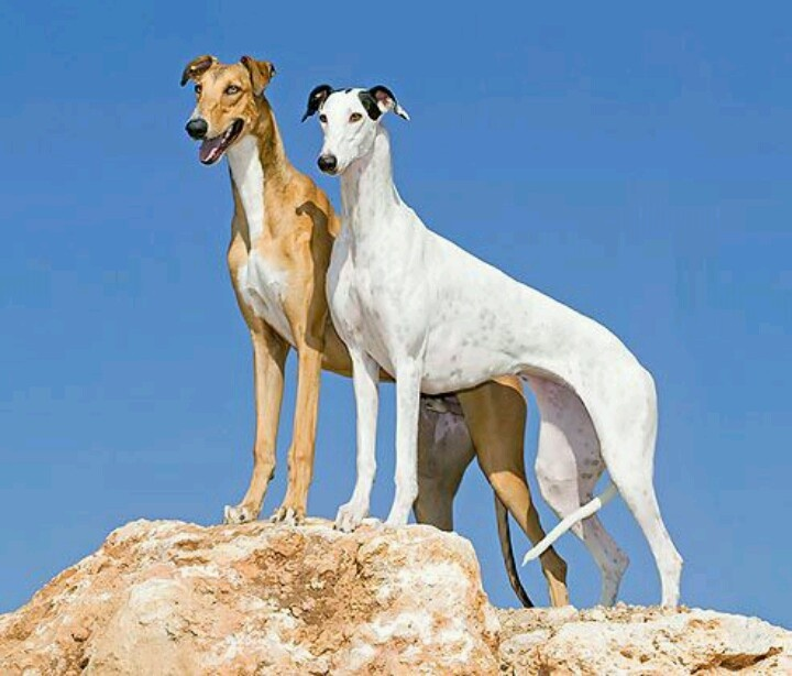 Greyhounds - best eyesight of any breed, as well as fastest dog on earth with speeds of up to 45 mph.