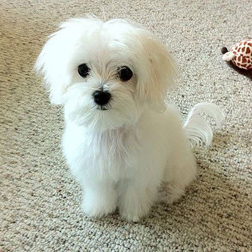 maltese dog. the white stuff more maltese dog