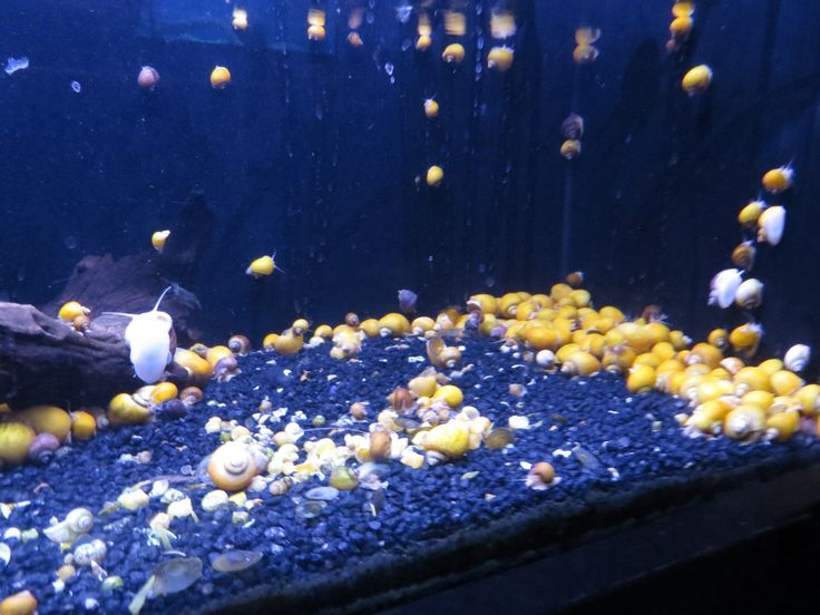 17 best images about freshwater snail photos on pinterest for Snail eggs in fish tank