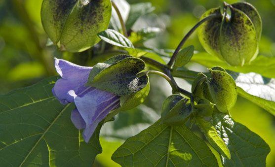 ZEGEKRUID  groeit  in het wild, maar ook in tuinen.  Het is een grote plant met blauwe, trechtervormige bloemen en decoratieve zaaddozen die vaak gebruikt worden in droogboeketten.  Wanner je hem eenmaal in de tuin hebt, zal hij zich zelf uitzaaien, zodat je ieder jaar weer nieuwe planten hebt, zonder er iets voor hoven te doen.  Planten uit de nachtschadenfamilie zoals euphorbium en bitterzoet zijn giftig, maar het Zegekruid niet.