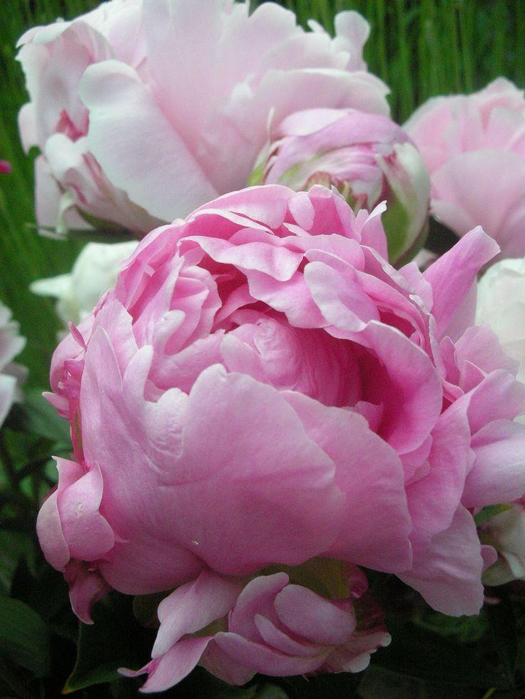 Common Garden Flowers Pink 2491 best pink flowers images on pinterest | pink flowers, flowers